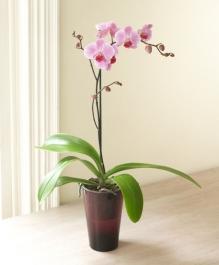 Geçmiş Olsun Çiçeği Orkide